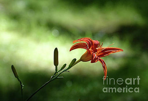 Edward Sobuta - Farmington Lilies 2