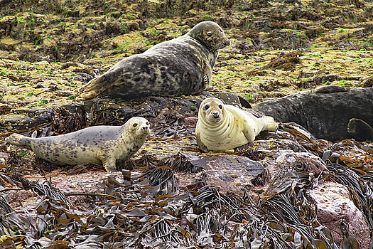 Farne Island Seals by Tony Murtagh