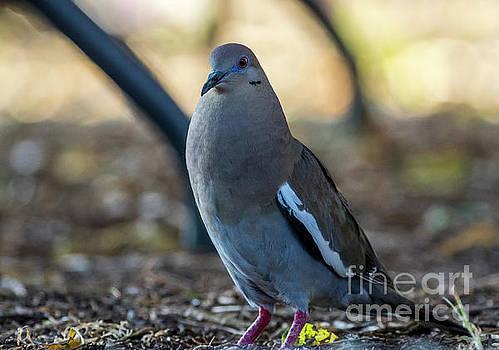 Fat Al The White Winged Dove by Bob Marquis