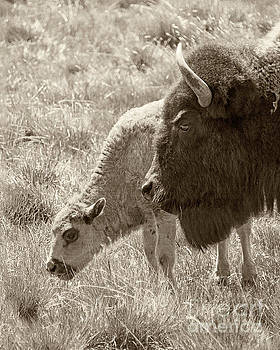 Father and Baby Buffalo by Rebecca Margraf