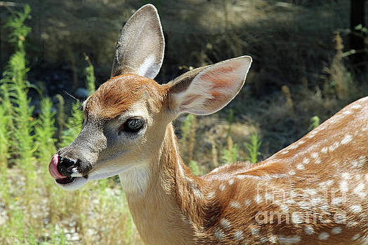 Fawn by Inspirational Photo Creations Audrey Woods