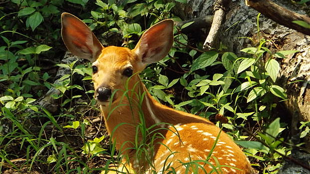 Fawn In The Woods 2 by Dennis Pintoski