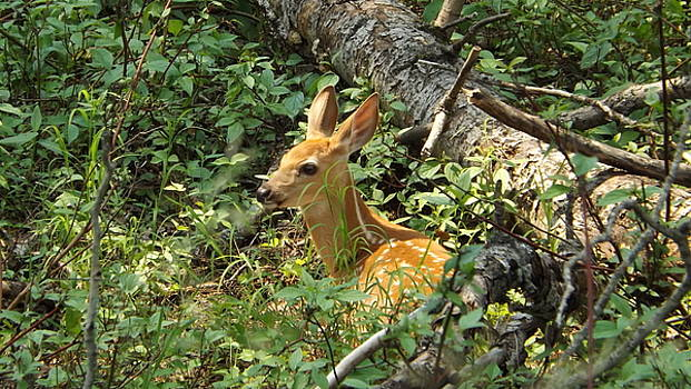 Fawn In The Woods 3 by Dennis Pintoski