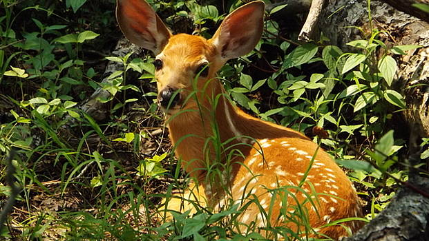 Fawn In The Woods by Dennis Pintoski