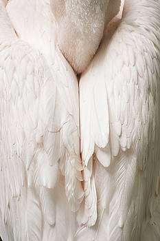 Feathers by Kuni Photography