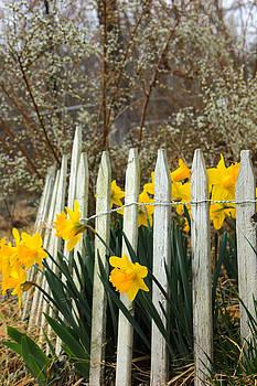 February Daffodils by Carolyn Wright