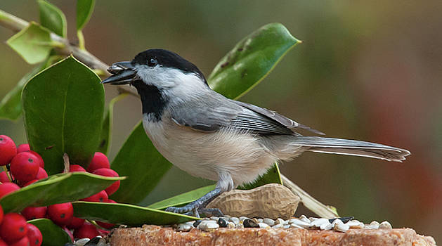 Feeding Chickadee and Holly by Jim Moore