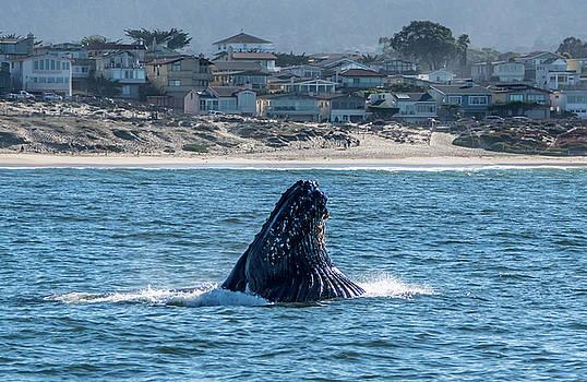 Feeding Humpback Whale, Del Monte Beach, Monterey by Randy Straka