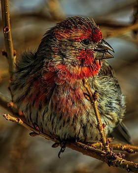 Dale Kauzlaric - Feeding Male House Finch