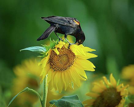 Nikolyn McDonald - Sunflower Feast - Red-winged Blackbird