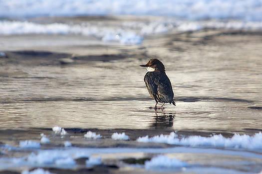 Feeling like a penguin. White-throated dipper by Jouko Lehto