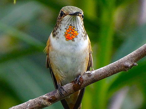 Female Allen's hummingbird by Marillyn Meadows Bernstein