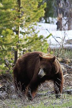 Female American Black Bear by Alyce Taylor