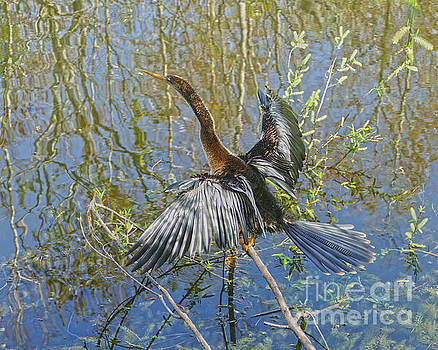 Female Anhinga Dries Her Feathers by Catherine Sherman