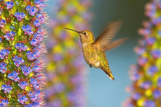 Female Anna's Hummingbird Huntington Beach California by Ram Vasudev