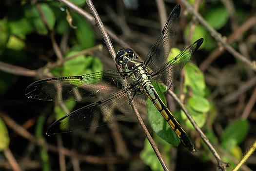 Female Bar-winged Skimmer by Liza Eckardt