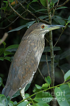 Female Black-Crowned Night Heron by Natural Focal Point Photography