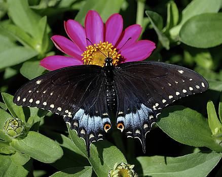 Female Black Swallowtail by Doris Potter