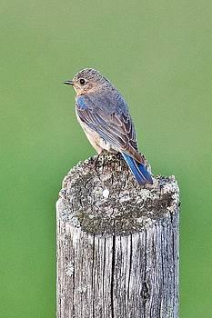 Female Blue Bird by Michael Peychich