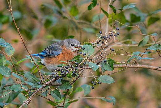 Female Bluebird Eating Berries 011020164372 by WildBird Photographs