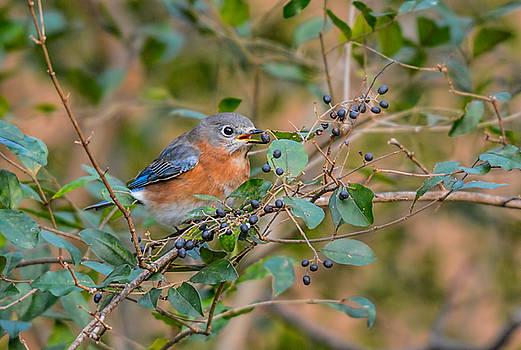 Female Bluebird Eating Berries 011020164375 by WildBird Photographs