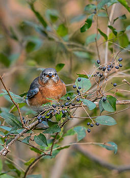 Female Bluebird Eating Berries 011020164383 by WildBird Photographs