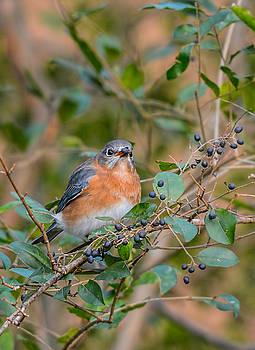 Female Bluebird Eating Berries 011020164391 by WildBird Photographs