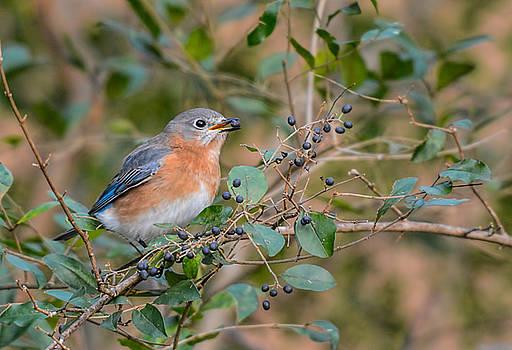 Female Bluebird Eating Berries 011020164397 by WildBird Photographs