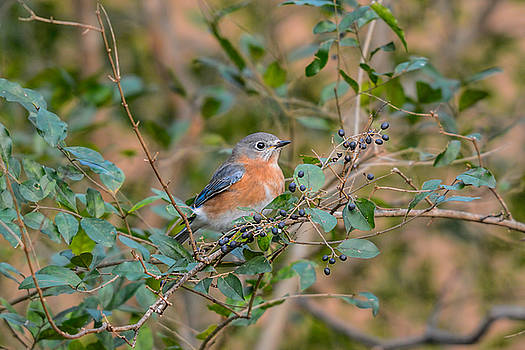 Female Bluebird In The Berry Bush 011020164378 by WildBird Photographs