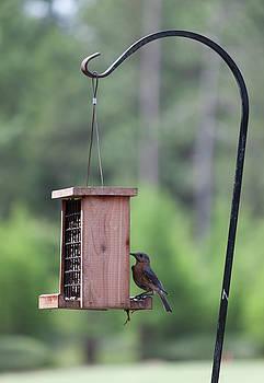 Female Bluebird on the Suet Feeder by Suzanne Gaff