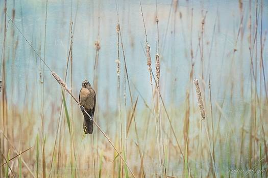 Female Boat-tailed Grackle, Nature Bird with Cattails Landscape by Melissa Bittinger