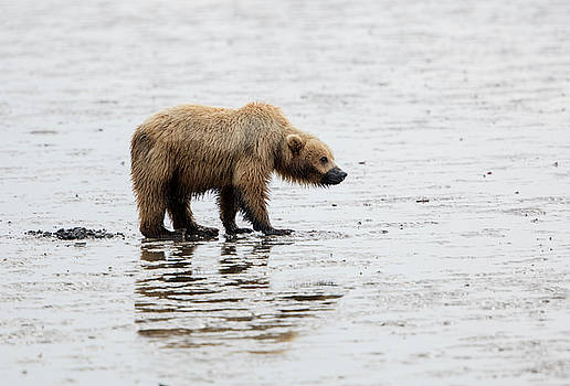 Female Brown bear digging for clams by Gloria Anderson