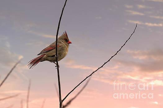 Female Cardinal Bird in the Winter by Brandon Alms