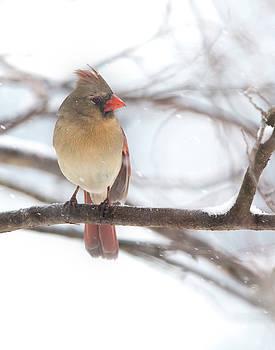 Female Cardinal in snow by Jack Nevitt
