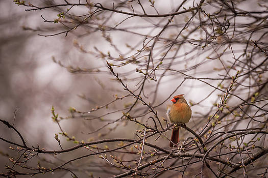 Terry DeLuco - Female Cardinal in Spring 2017