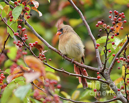 Female Cardinal in the Berries by Kerri Farley