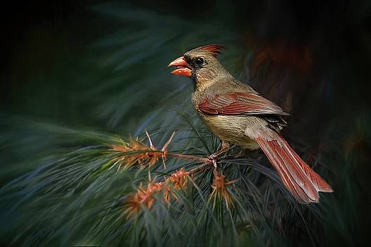 Female Cardinal on Evergreen by TnBackroadsPhotos