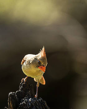 Female Cardinal by Roy Nierdieck