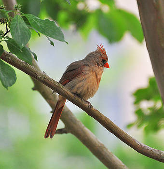 Female Cardinal by Russ Mullen