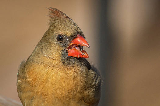 Female Cardinal Snacking by Gary E Snyder