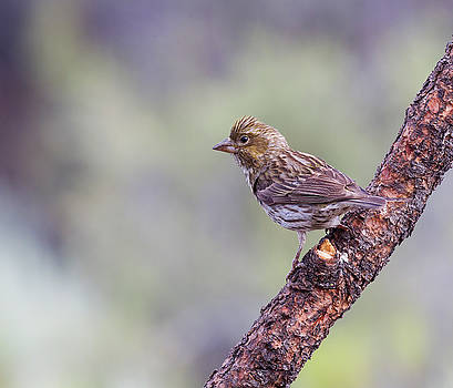 Female Cassins Finch by Doug Lloyd