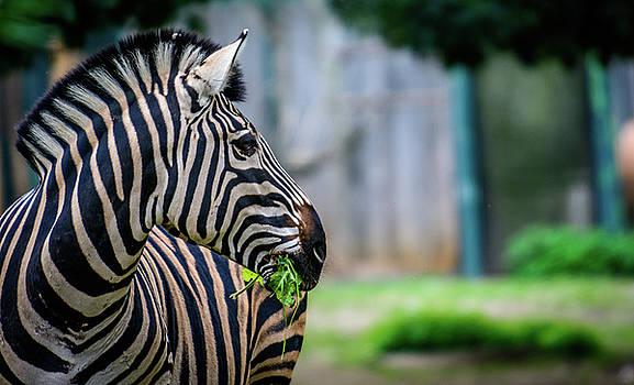 Female Chapmans zebra by Libor Vrska