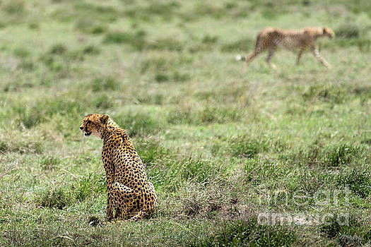 RicardMN Photography - Female cheetah and male on the background