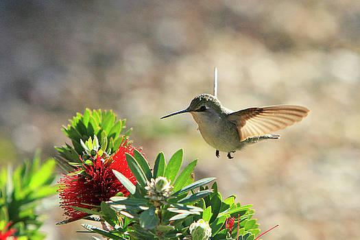 Female Costas Hummingbird by Shoal Hollingsworth