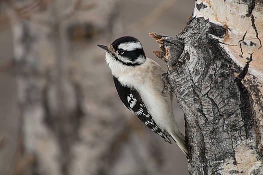Female Downey Woodpecker by Celine Pollard