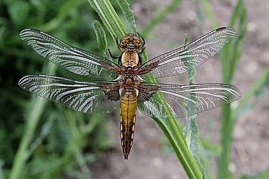 Female dragonfly by Martin Smith
