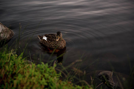 Female Duck Hen Creating Ripples in A Pond At Rancho San Rafael Park in Reno Nevada by Brian Ball