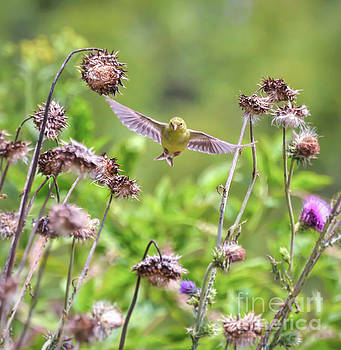 Female Goldfinch Flies Between The Wildflowers by Kerri Farley