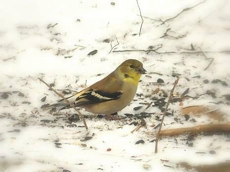 Joe Duket - Female Goldfinch in Snow