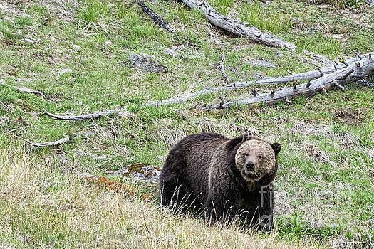 Tibor Vari - Female Grizzly in Yellowstone